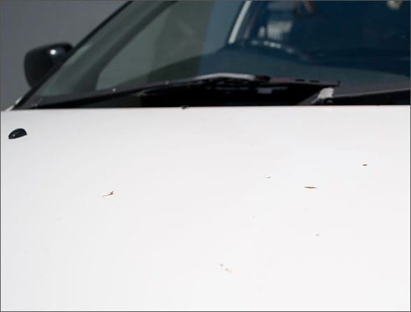 Тополиные почки на капоте автомобиля